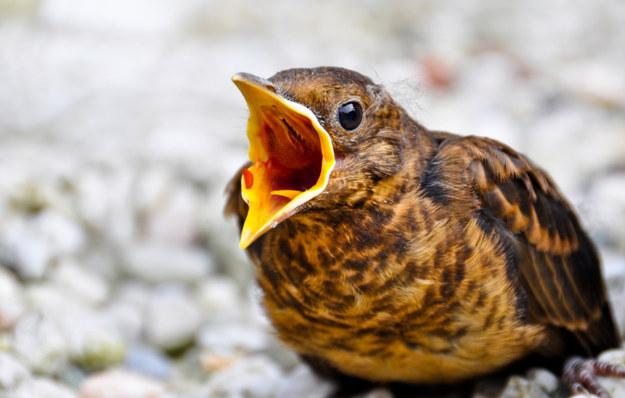 Screaming Birds21