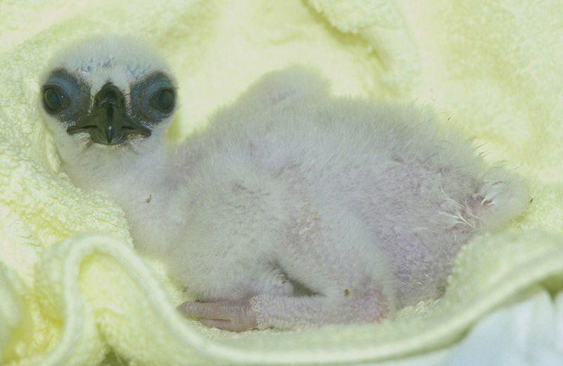 クマタカの赤ちゃんは真っ白です