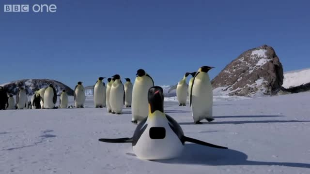 emperor penguins02