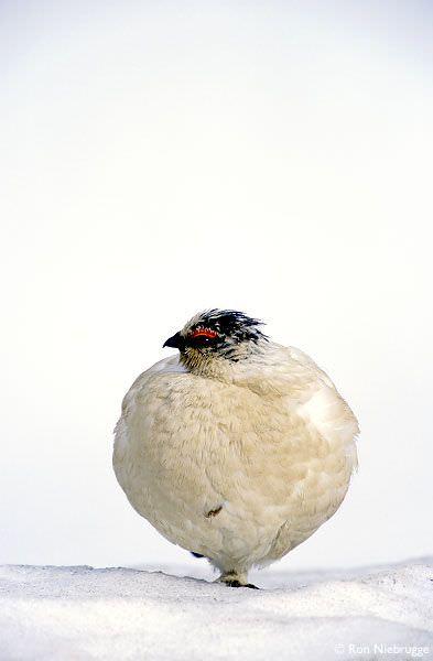 まんまるな鳥の写真14枚!008