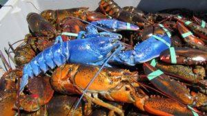 HT_Blue_Lobster1_MEM_160810_16x9_992