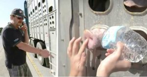 woman feeds dehydrated pigs