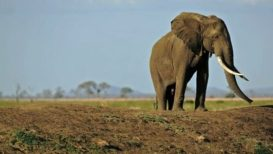elephants-ivory