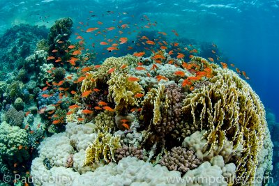 Corals and Anthias
