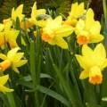>Daffodils Fri April 29