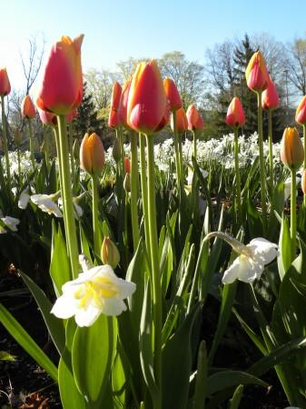 Tulipa World Peace with Narcissus Lemon Beauty