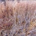 Silver Grasses