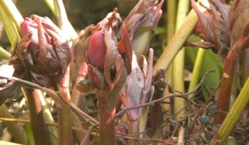 Helleborus x hybridus 'Blue Lady'