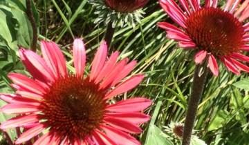 Echinacea 'Solar Flare'