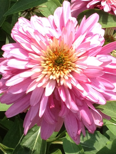 Echinacea 'Pink Poodle'