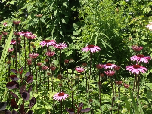 Echinacea 'Vintage Wine' in the Entry Garden