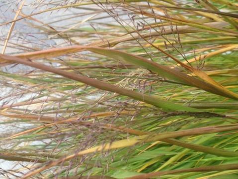 Hakonechloa macra (Japanese forest grass) November 6, 2012