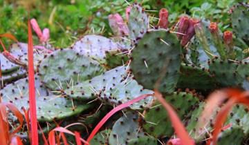pauls plant pick opuntia