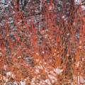 winter beauty dogwood