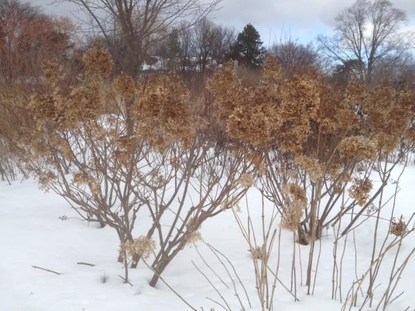 Hydrangea paniculata 'Phantom' in the Perennial Border-South February 2013