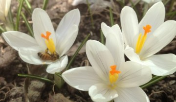 Crocus vernus 'Jeanne d'Arc' with Bee WVT March 25, 2013