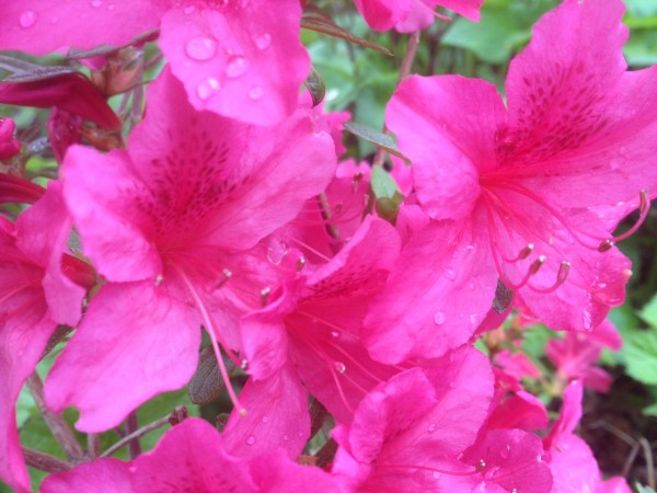 Rhododendron 'Kathleen' Garden Hall Courtyard
