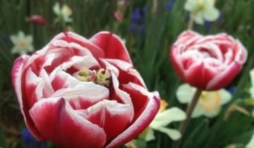 Tulipa 'Drumline'