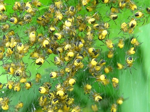 Spiderlings_Sproule