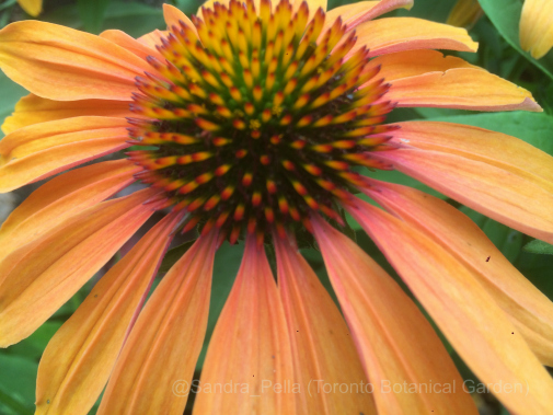 Echinacea 'Tangerine Dream' (Dream Series)