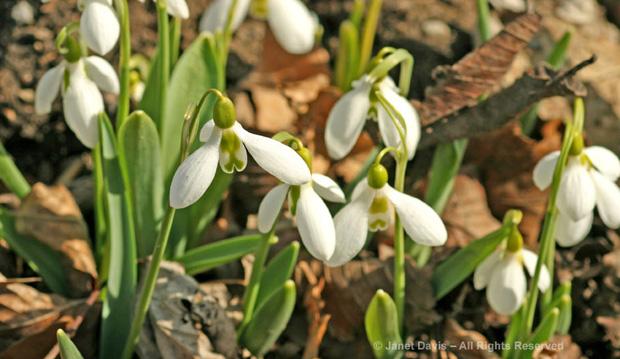 snowdrops, spring