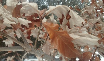 Oak with marcescent leaves