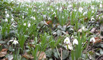 Snowdrops blooming