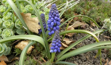 Grape hyacinth blooms
