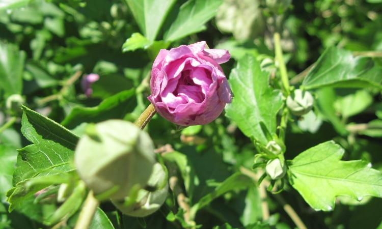 Hibiscus bloom opening