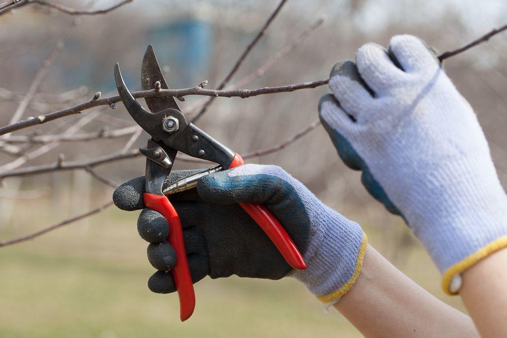 Basic Winter Tree Pruning