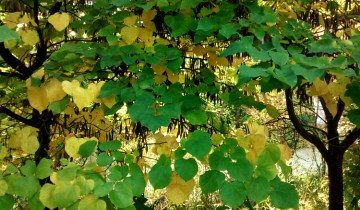 Cercis canadensis (redbud) leaves turning yellow in the fall