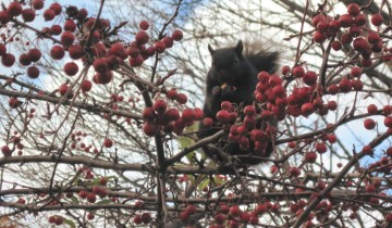 squirrel eating apples in a crap apple tree