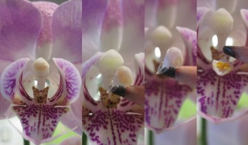 Series of images showing the removal of an orchid's pollinia