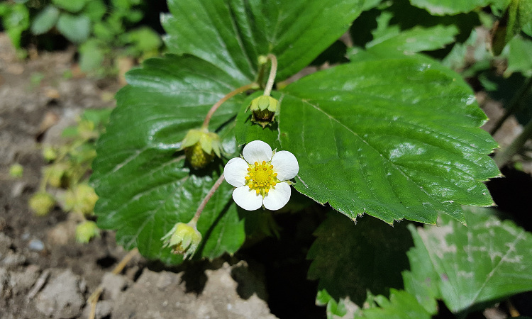 Strawberry plant with flower