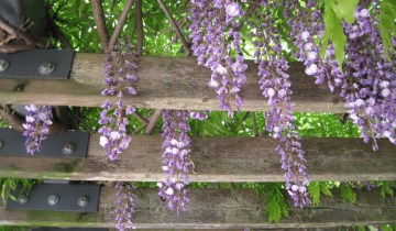 wisteria flowers hanging down from a support.