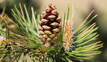 Mature pine cone on branch