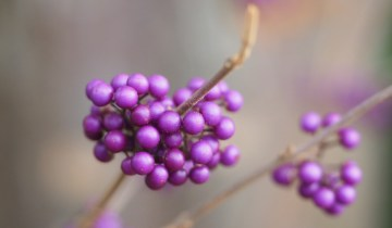 Close up of callicarpa berries