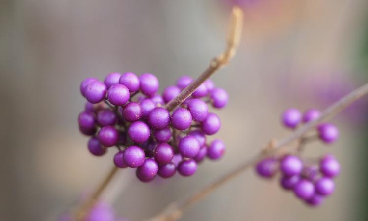 Close up of callicarpa berries