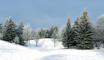Winter scene with snow covered conifers