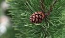 Pine needles and cone