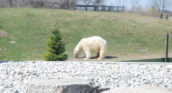 Polar bear at the new Tundra Trek.