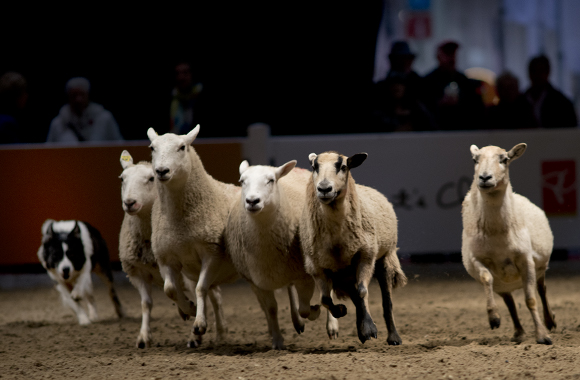Border collies show their stuff at a sheep dog demonstration.