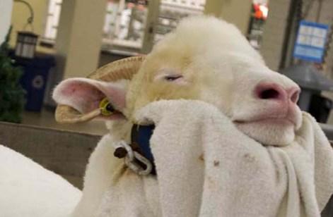 Sheep enjoy a day at the spa.