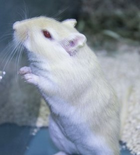 """A mouse for sale. Another good """"starter"""" pet according to Derrick Zuber of Muddy Paws in the Guild."""