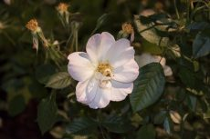 Some flowers lay nestled among the green leaves of nearby bushes, unseen by most passersby.