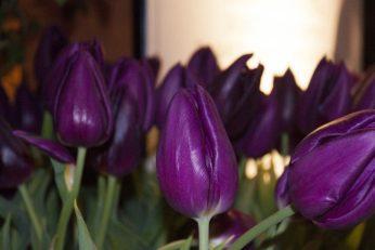 Violet tulips grow around one of the patio displays.