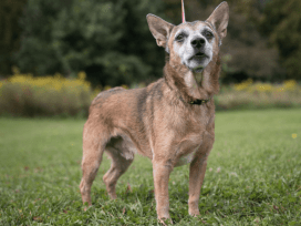 Wyatt is an eight-year old Chihuahua mix.