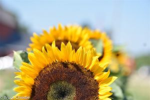 Sunflower_Prince_Edward_County-11.jpg