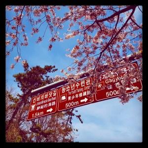 Cherry Blossoms Jindo Toronto Seoulcialite