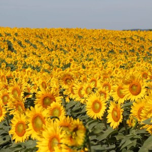 davis-sunflowers-03